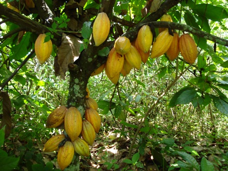 Cocoa association lauds Aregbesola's agribusiness reforms
